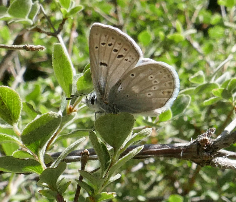 Many Blues along the trail as well.  I believe this is Boisduval's Blue, Plebejus icarioides