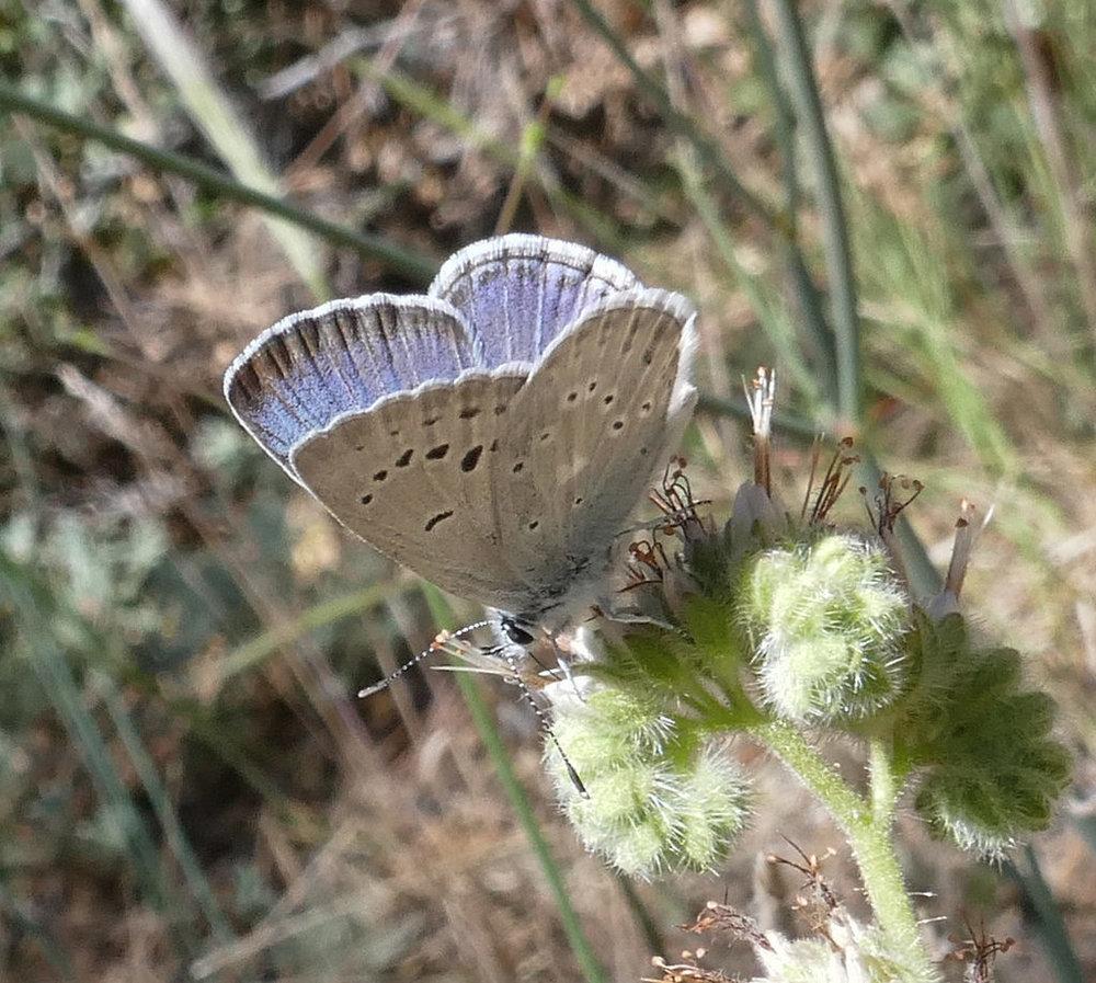 Boisduval's Blue, Plebejus icarioides