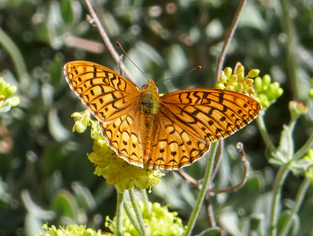 Another Coronis Fritillary Speyeria coronis.