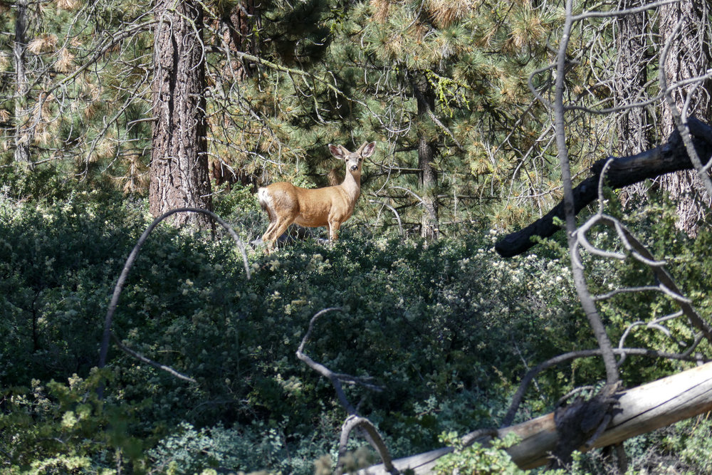 We came upon this young buck with velvet antlers.  He watched us for a while until he took off into the woods.