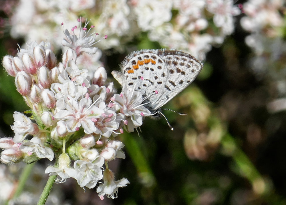 This area is a great habitat for butterflies.  There's plenty of blooming California Buckwheat and Deerweed.  Here a Bernardino Blue,  Euphilotes bernardino  nectars on California Buckwheat.