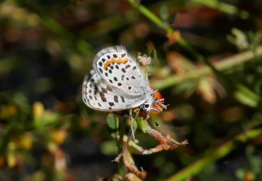 Bernardino Blue, Euphilotes bernardino on Deerweed.
