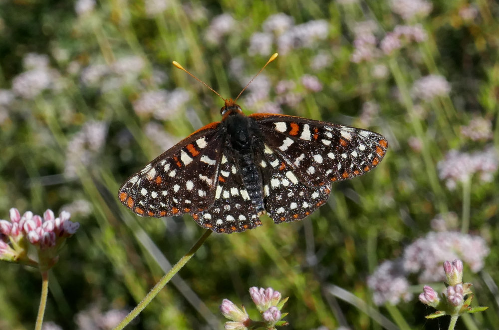 Chalcedon Checkerspot, Euphydryas chalcedona.  There were a lot of these along the route.  Especially at the base of Hoyt mountain just as the 2N79 ends at the saddle and turns into the Telephone Trail.