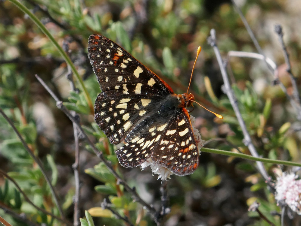 I observed many Chalcedon Checkerspots, Euphydryas chalcedona. along this entire trek.