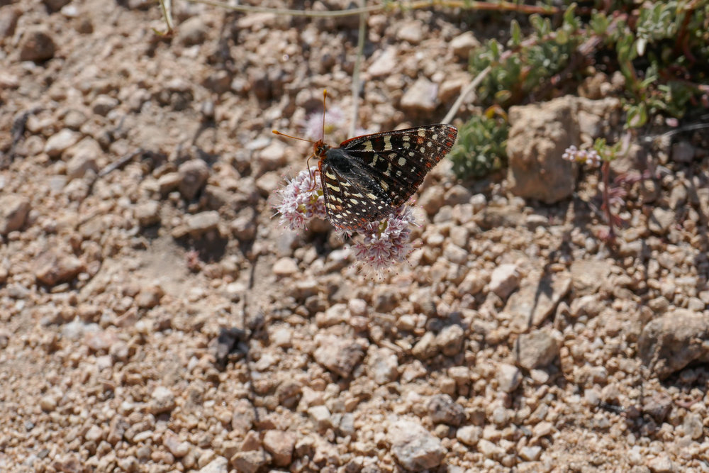 Chalcedon Checkerspot, Euphydryas chalcedona enjoying the California Buckwheat on the peak.