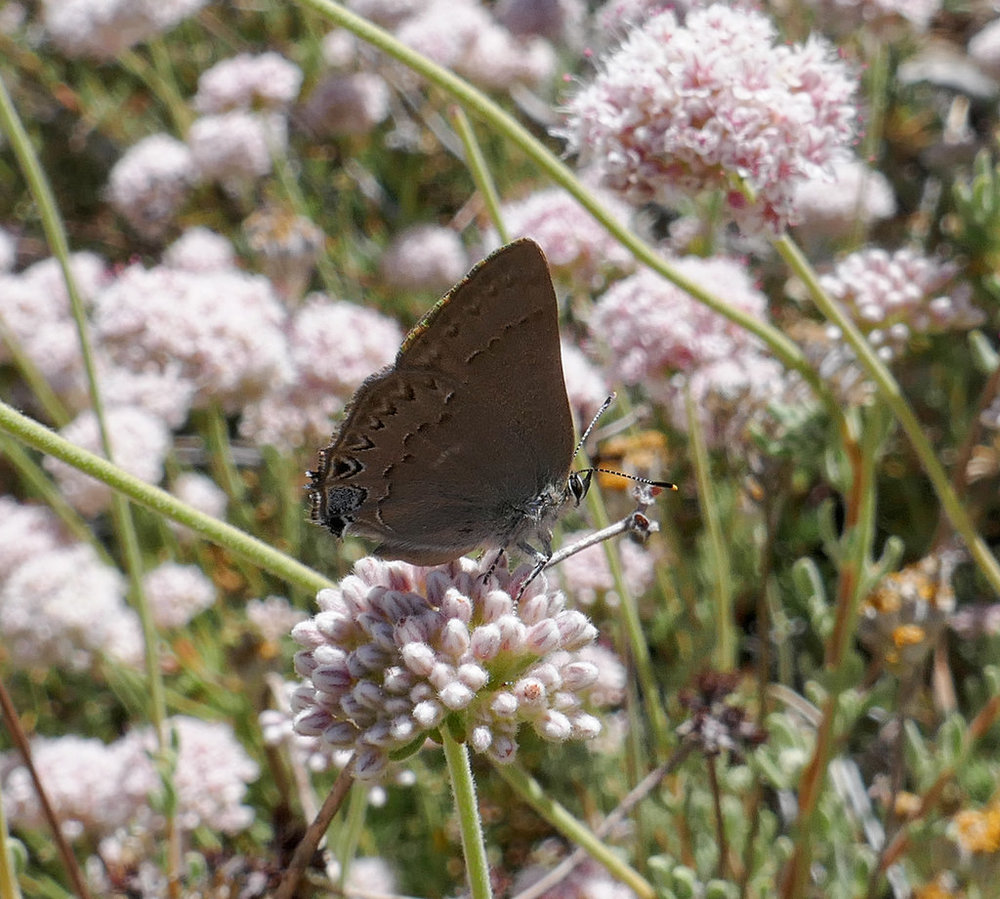 This is a Satyrium Hairstreak - not quite sure of the species just yet.  Will need to do more research.