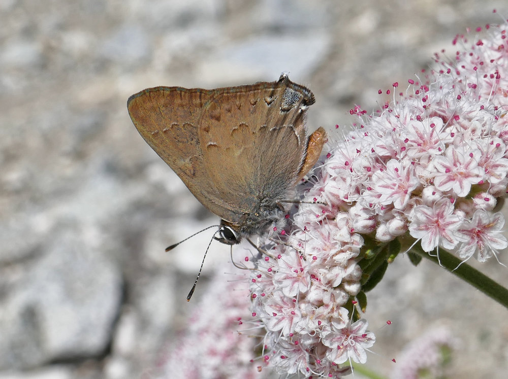 Satyrium Hairstreak