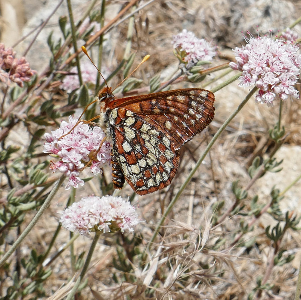 One more butterfly photo to end the hike, Chalcedon Checkerspot, Euphydryas chalcedona.