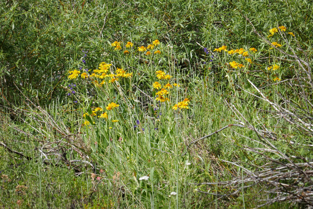 I think these flowers might be Mule Ears.