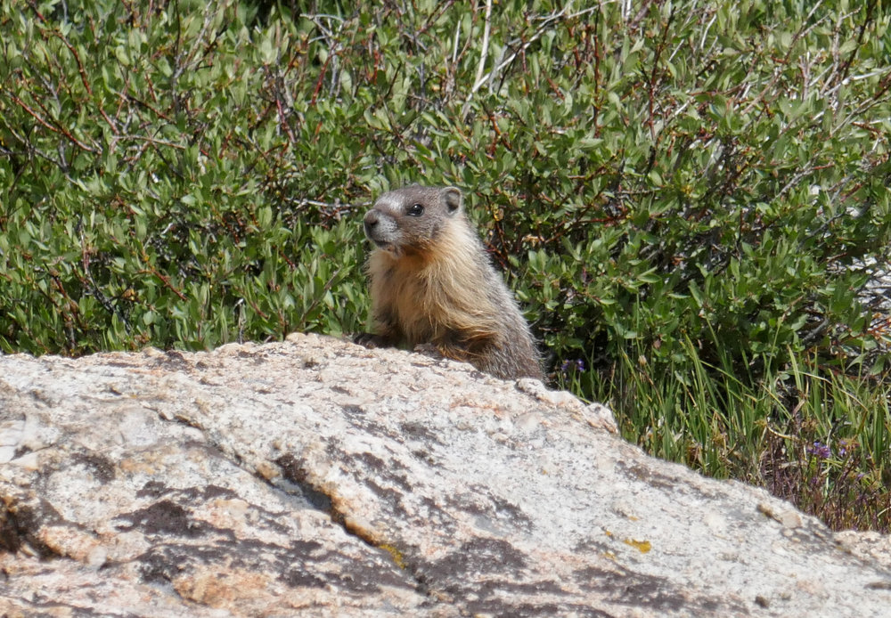 The marmots were everywhere on this section.