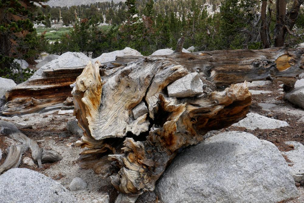 Twisted fallen tree.