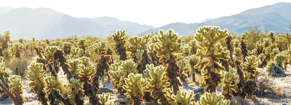 Cholla Cactus Garden, Joshua Tree Park