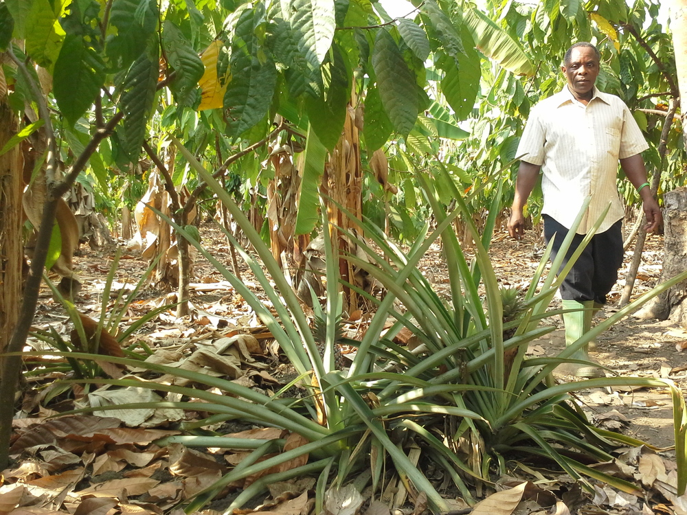 Elisante in a cocoa/pineapple farm