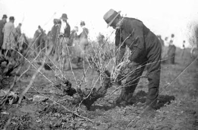 A pruning demonstration in Reynella in 1923 (c) SA Library.
