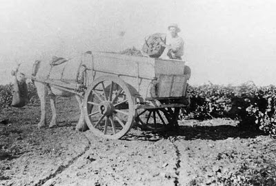 Picking Grapes at Reynella in 1896 (c) SA Library