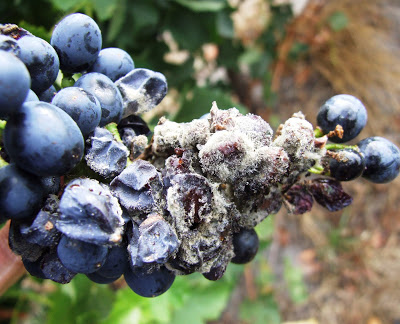 B  otrytis on Shiraz in McLaren Vale 2011.   Note the severe rot. High levels of botrytis in red grape varieties cause unstable wine fermentation and other taints that are not desirable.