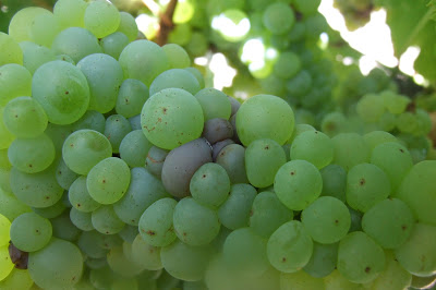 The beginning of a Botrytis infection in Sauvignon Blanc.