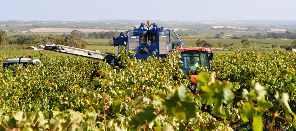 Harvest at the Rosedale Vineyard: Sellicks Foothills: McLaren Vale Wine Region.