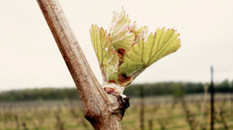 Budburst.Grapevine buds will burst in spring around the start of September revealing their true form.