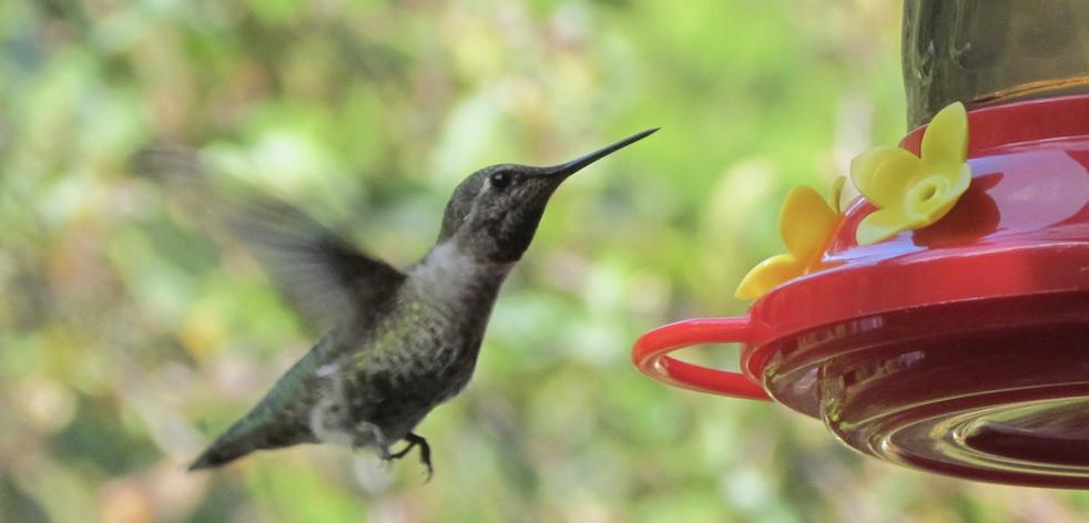Kolibrie Petra Stam