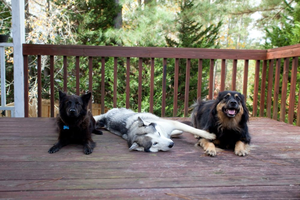 Cadburry(German Spitz), Cloud(Siberian Husky), and Pluto(Lovable Mut)