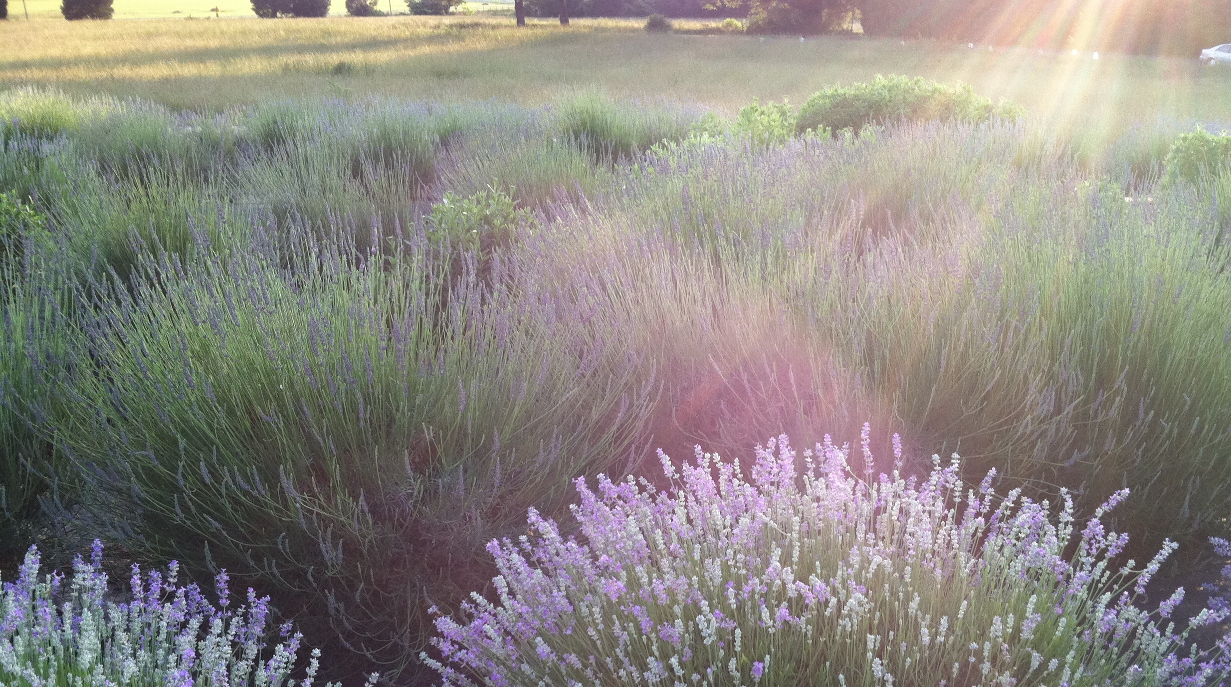 Visit the Farm — Seven Oaks Lavender Farm
