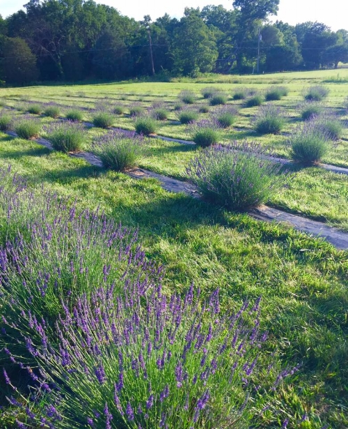 Our two acre lavender field