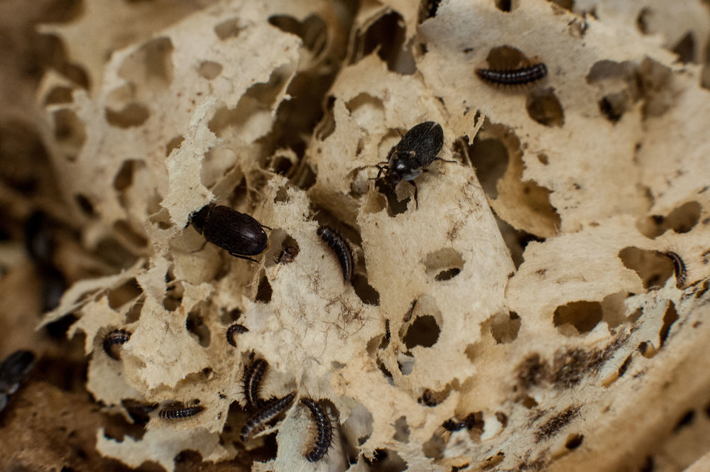 When not eating flesh, the beetles chew round holes in their paper bedding.