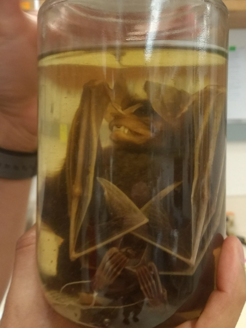 The preserved body of a Big-eared woolly bat