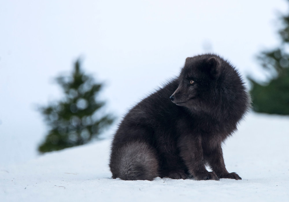 An Arctic Fox (vulpes lagopus).