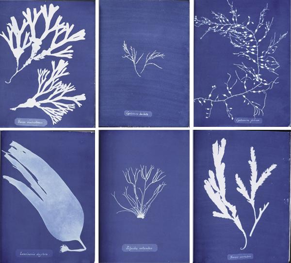 seacyanotype