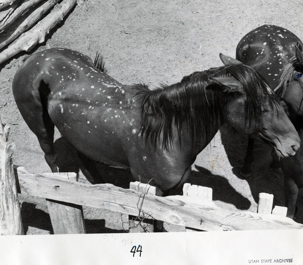 HORSES WITH RADIATION BURNS - SERIES 11571 - PERMISSION OF THE UTAH STATE ARCHIVES AND RECORDS SERVICE.
