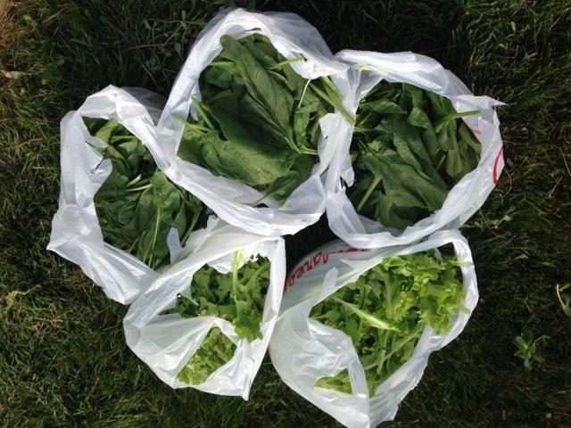 late June: greens, greens, more greens