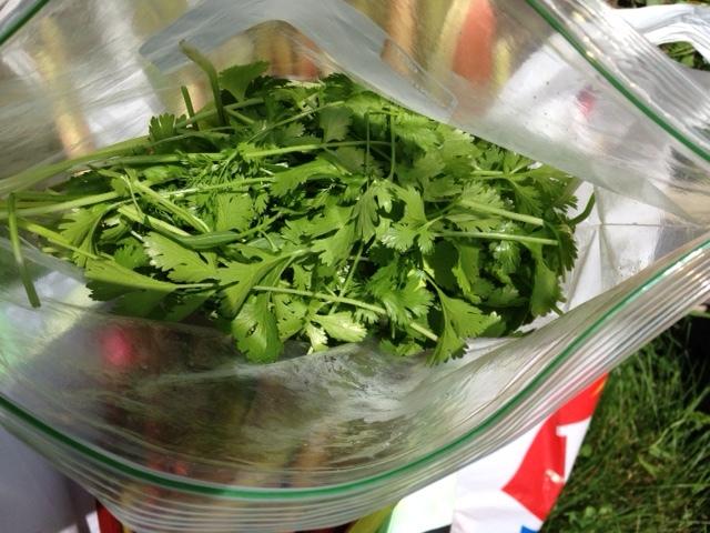 first harvest--cilantro
