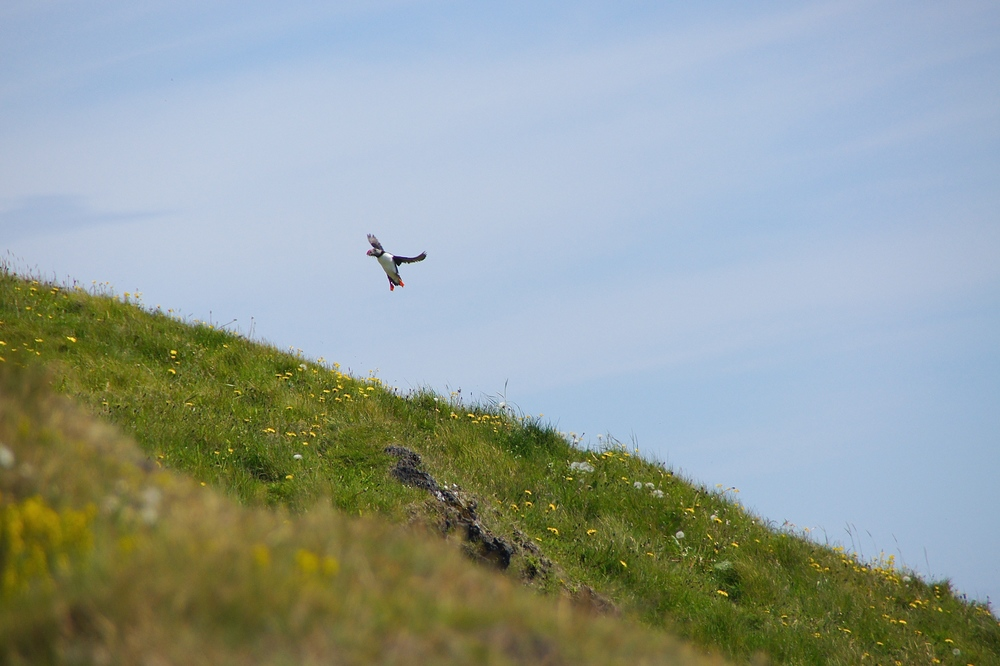 A puffin returning to its nest with a beak full of sandeal.