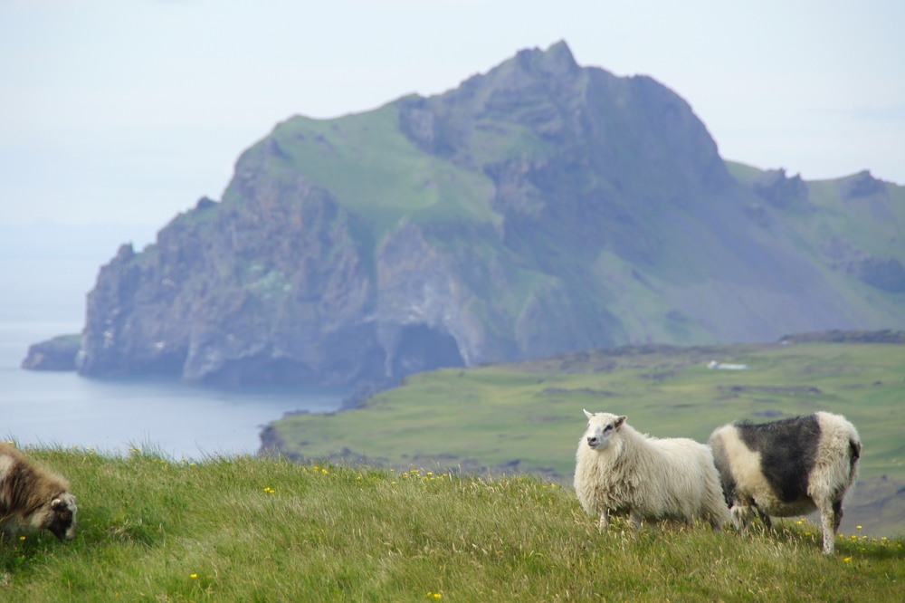 Icelandic sheep.