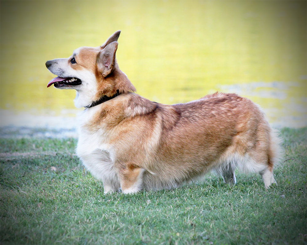 Excalibur's Lady Molly At Go Corgis - RETIRED