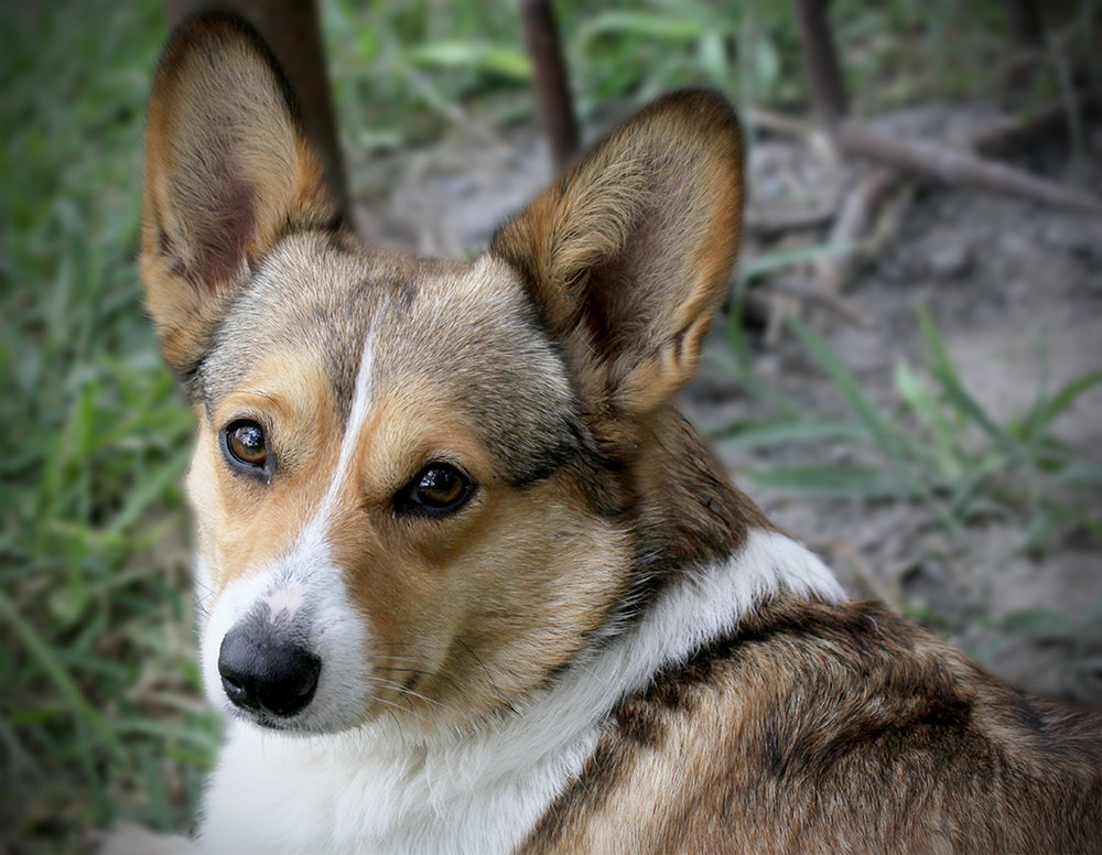 Maggie Mae of Hill Country Corgis - RETIRED