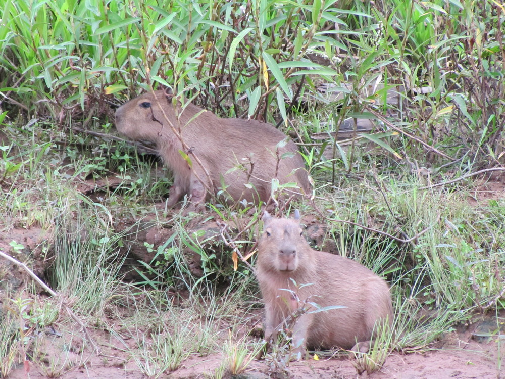 Capybaras on the banks of the Tambopata River
