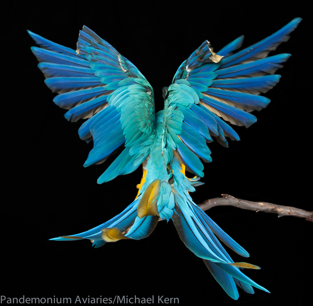 Tico the Macaw