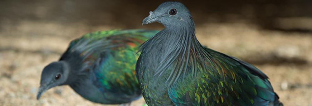 nicobars jpg Endemic Species Nicobar Pigeon