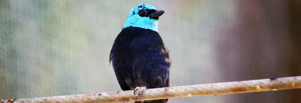 bluenecked_tanager.jpg