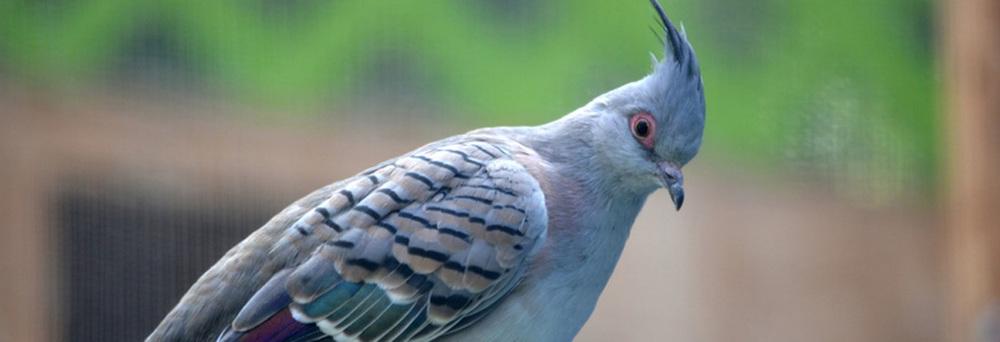 australian_crested_ dove2.jpg