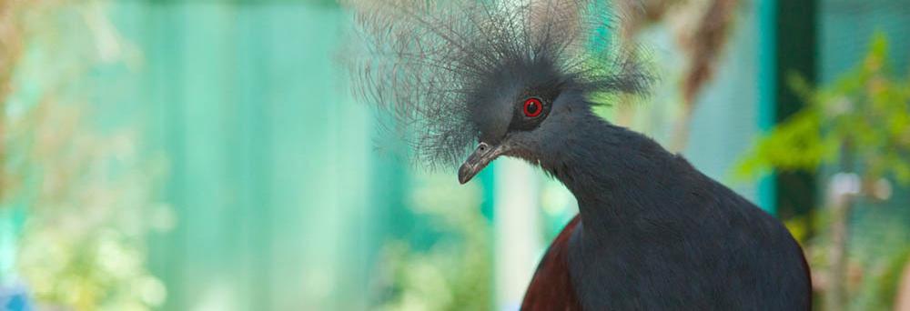 bluecrowned_pigeon.jpg