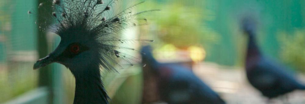 victoria_crowned_pigeons.jpg