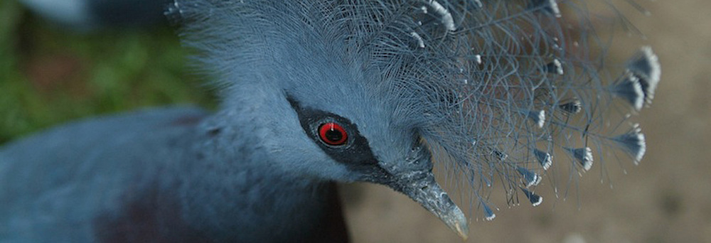 blue_crowned_pigeon.jpg