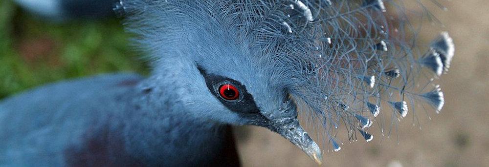 victoria+crowned+pigeon.jpg
