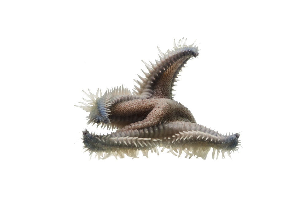 Spiny Sand Star
