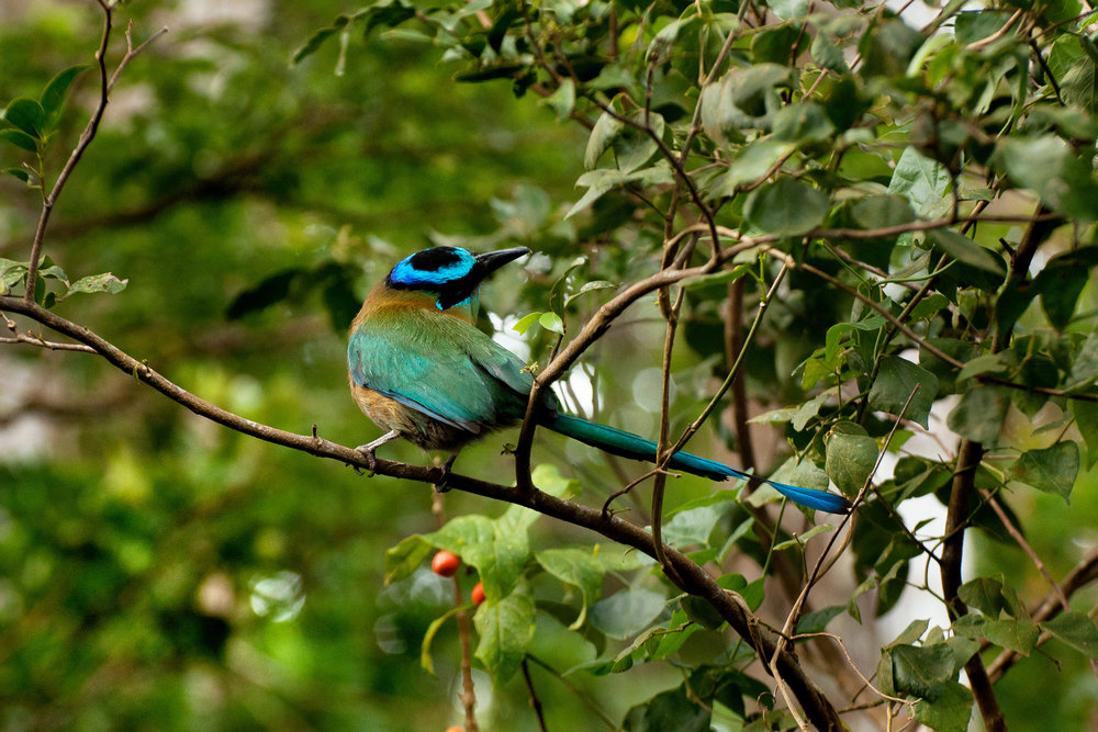 Blue-crowned-Motmot.jpg