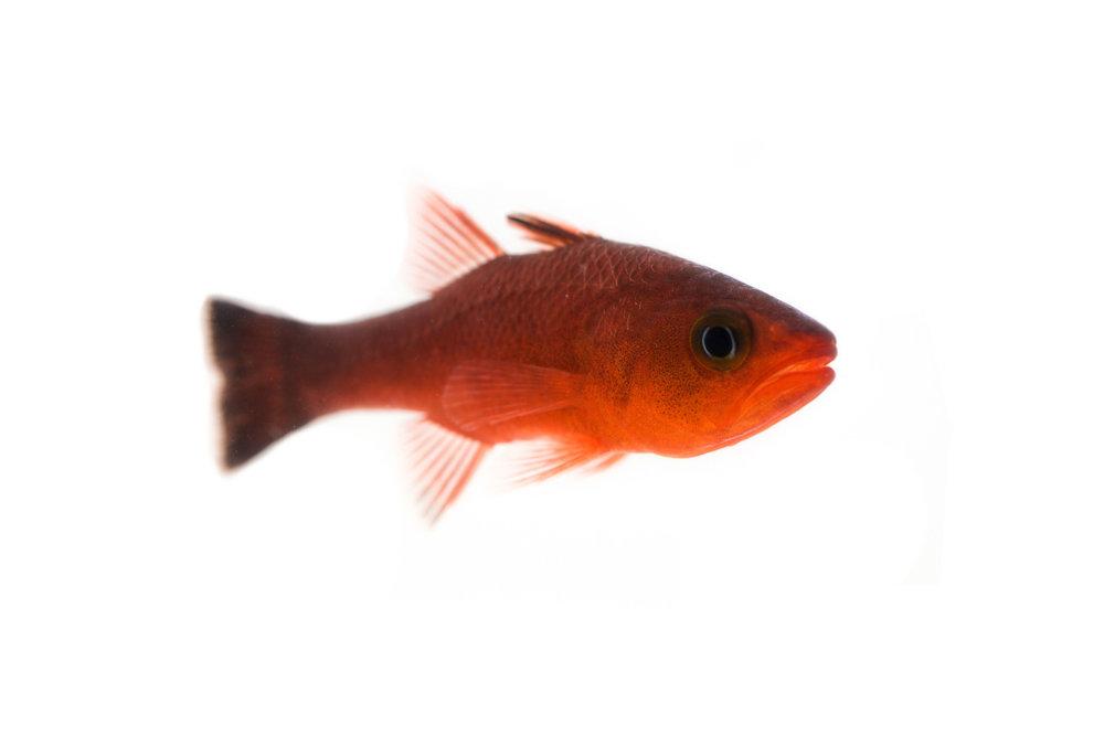 Guadalupe Cardinalfish